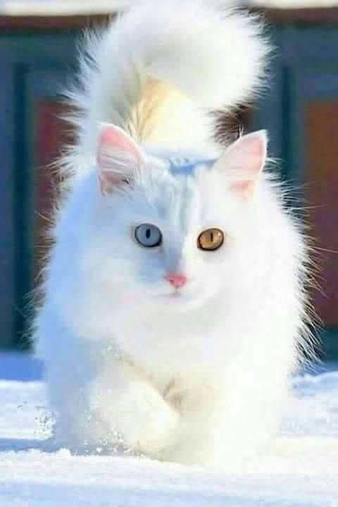 Beautiful In White Cats Cute Cats Kittens
