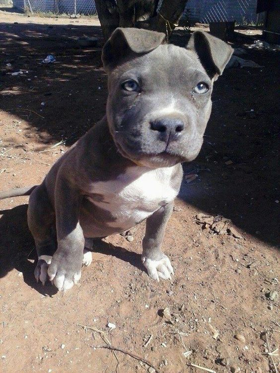 The O Jays Blue Pitbull And American Bullies On Pinterest