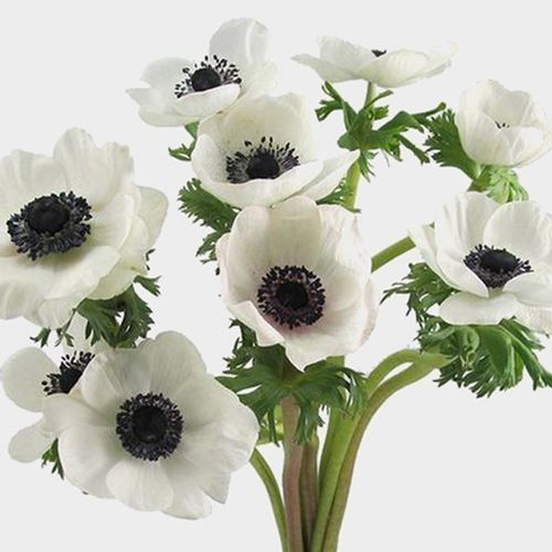 Anemone White W Black Eye Flower 50 Stems Wholesale Blooms By The Box In 2020 White Anemone Flower White Anemone Anemone Flower