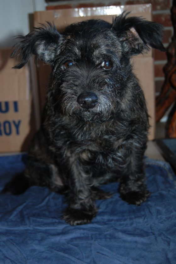 Adopt Tracey On Cairn Terrier Mix Terrier Mix Dog Love