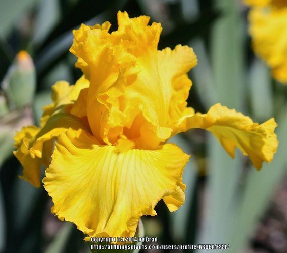 TB Iris germanica 'Radiant Energy' (Maryott, 1986)