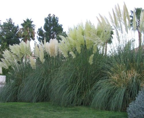 Pampas grass grasses and hedges on pinterest for Best tall grasses for privacy
