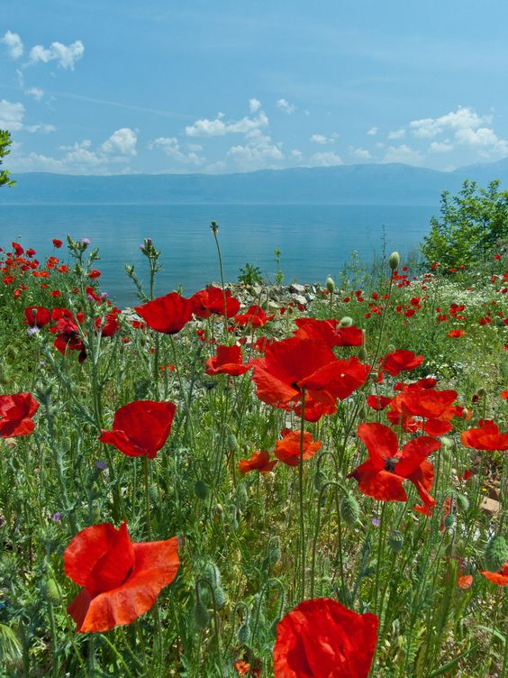 Ohrid Poppies by Tim Brook (Albania)