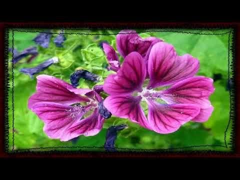 Malva Planta Medicinal Para Que Sirve Para Q Sirve La Malva Https Youtu Be Jjwjl0lea3s Plants Flowers Rose