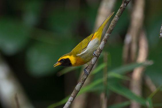 Foto saíra-de-papo-preto (Hemithraupis guira) por Flavio Moraes | Wiki Aves - A Enciclopédia das Aves do Brasil