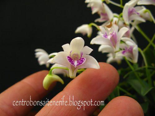 """Dendobrium  Kingianum  """"Silkokii"""""""