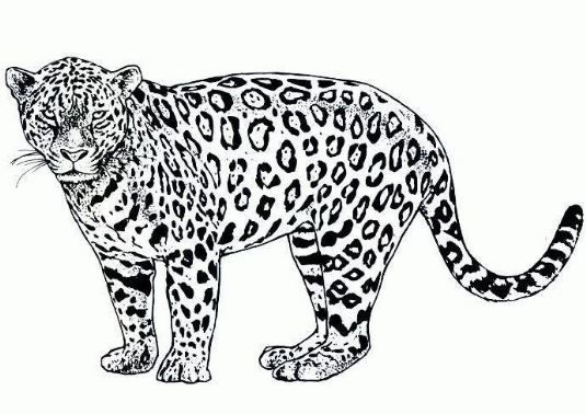 Coloring Pages Cheetah Animal Coloring Pages Elephant Coloring Page Animal Templates
