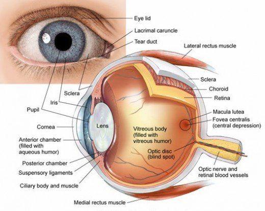 Anatomy Of The Eye Human Eye Anatomy Eye Anatomy Physiology Human Eye Diagram