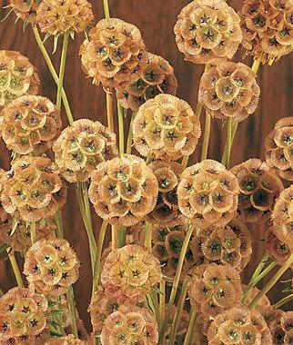 Scabiosa, Starflower (S. Stellata)  Flower heads are excellent in dried arrangements.: Scabiosa Heads, Flowers Garden, Annual Flower, Scabiosa Seeds