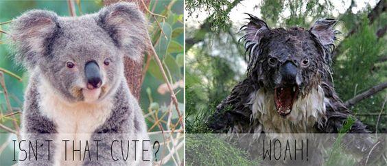 Angry Animals Google Search: Wet Koala - Google Search