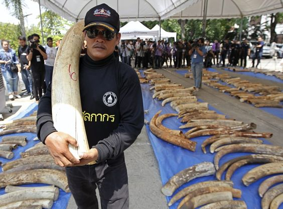 De Thaise douane heeft voor de tweede maal in  een week tijd illegaal ivoor gevonden. De 511 slagtanden met een totaalgewicht van drie ton en een waarde van 5,5 miljoen euro waren verstopt in zakken thee. Precies een week eerder onderschepte de Thaise douane vier ton ivoor uit Congo. Dat was de grootse vangst ooit voor de Thaise douane.(Wetenschap) Thailand