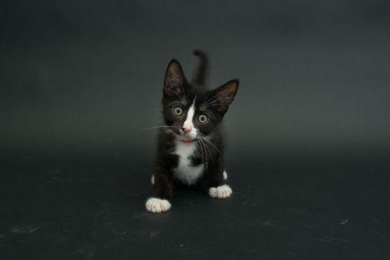 pequeño gatito negro con manchas blancas en la mitad de su cuerpo