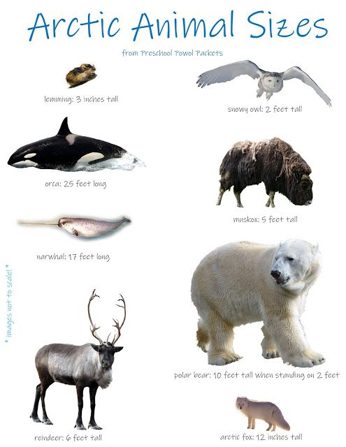 Arctic Animals Math Measurement Activity Arctic Animals Arctic Animals Preschool Polar Animals Preschool