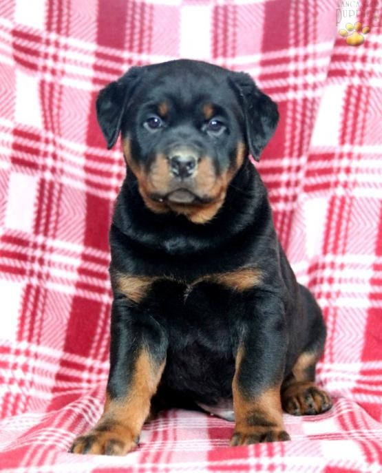 Pin By Janet Rasely On Pets Tips Rottweiler Puppies