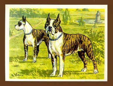 The Boston Terrier - History