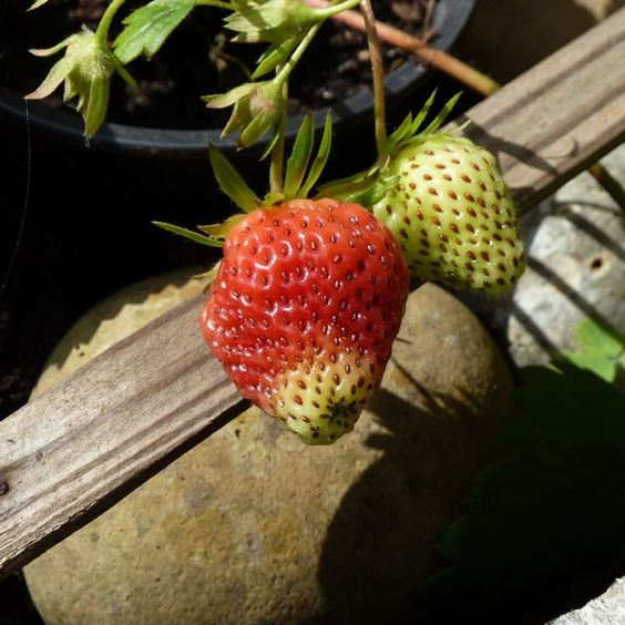 10 June 2015: Ripening strawberry. The first of the season. I hope I get to it before any other creature.