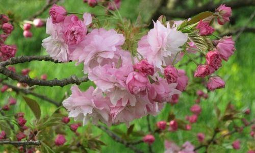 Prunus Pink Perfection Japanese Flowering Cherry Pink Perfection Cherry Pink Perfection Prunus Serrulata Pink Perfection Pink Flowers Arbustos Arboles