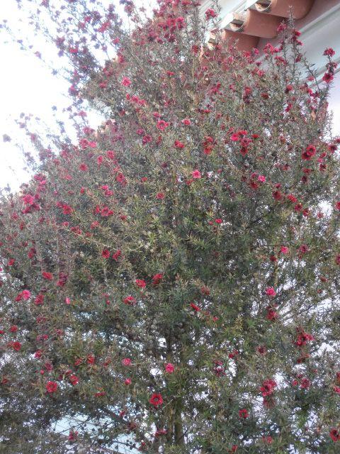 Red Leptospermum: