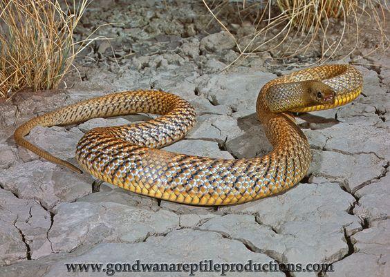 https://flic.kr/p/dR2fFg | Inland Taipan (Oxyuranus microlepidotus) | An…