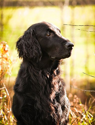 I officially want a flat coated retriever........click