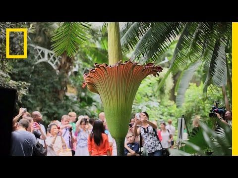 Smell The Stinky Corpse Flower That Blooms For 1 Day Every 3 Years Sfist Corpse Flower Corpse Flower Bloom Types Of Flowers