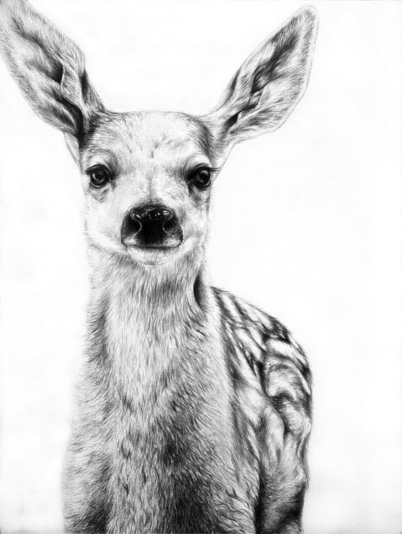 Stunning pencil drawing, fawn/baby deer