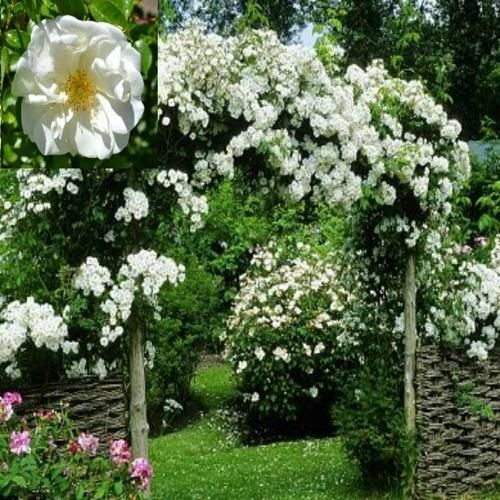 trees ebay and roses on pinterest. Black Bedroom Furniture Sets. Home Design Ideas