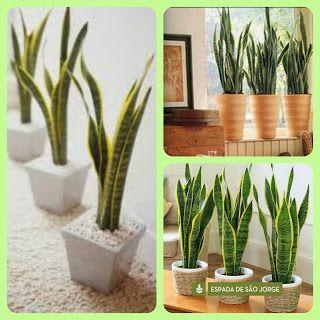 Plantas para dentro de casa espada de s o jorge green - Plantas ornamentales de interior ...