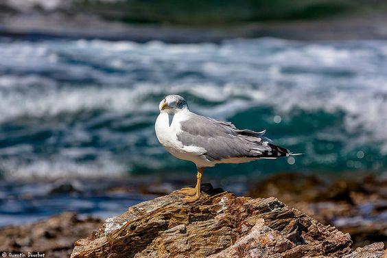 Goéland observateur #oiseau #nature #bird #goeland #mer #sea #animal