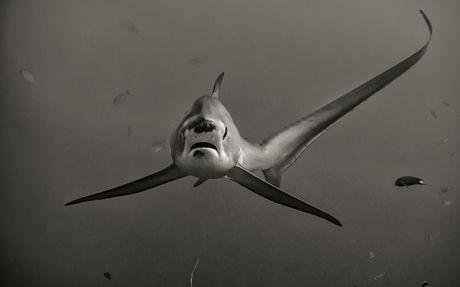 shark | Telegraph