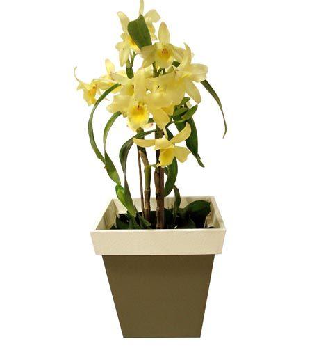 Dendrobium: Esta orquídea varia bastante de cor e de tamanho, podendo ir dos 5 aos 50 cm de altura. Suas flores duram de 15 a 20 dias e medem cerca de 3 cm. Nos meses mais frios, como junho e julho, é importante diminuir a rega, senão ela vai dar novos brotos ao invés de flores. Geralmente, floresce uma vez ao ano. Deve ficar à meia-sombra, evitando o sol direto entre 11h e 14h.  A rega depende do substrato que vem no vaso: casca de madeira absorve mais rápido a água, pedindo regas mais…