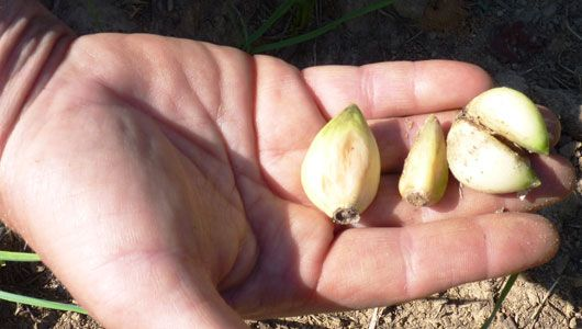 How to grow garlic: From choosing a variety to harvesting and curing, here's an easy-to-follow guide to growing garlic.