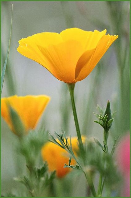 Poppies california and seed pods on pinterest - Yellow poppy flower meaning ...