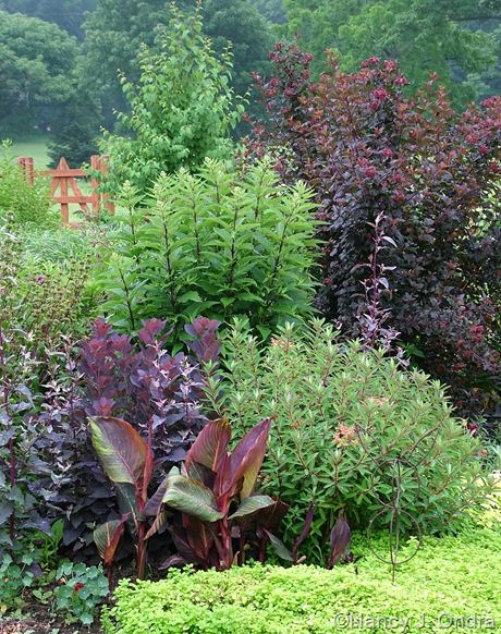dark stems of the self-sown Joe-Pye weed (Eupatoriadelphus maculatus) echo the similarly dark smokebush, the Tropicanna canna (Canna 'Phaison'), and the Diabolo ninebark (Physocarpus opulifolius 'Monlo').