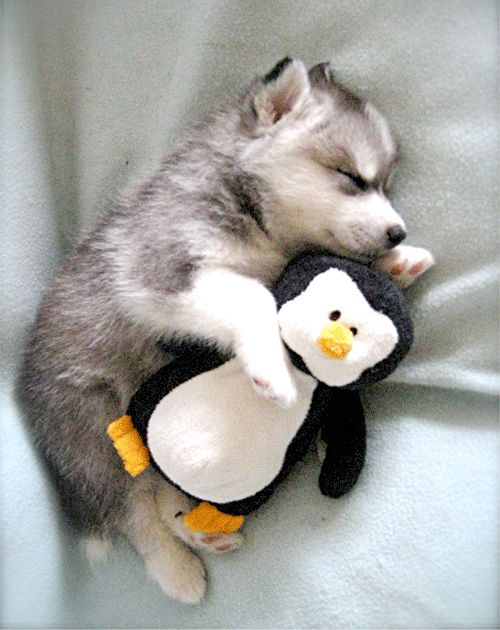 Husky puppy cuddling stuffed animal penguin - I think I may squee myself into a coma!!