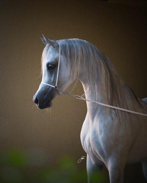 Arabian Is The Most Beautiful In The Horse World Arabische Pferde Schone Pferde Pferde