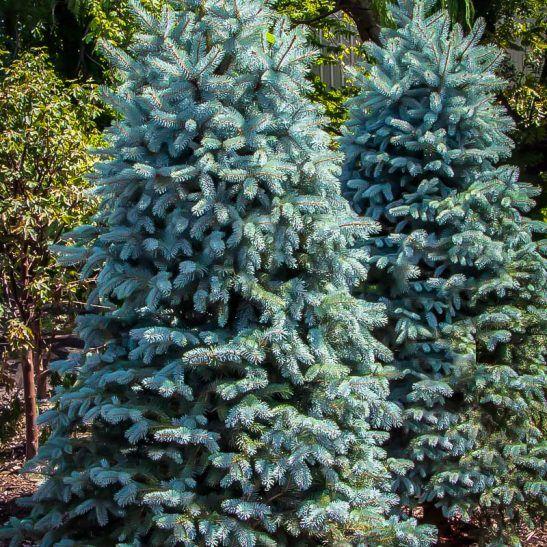 Baby Blue Eyes Spruce Blue Spruce Tree Specimen Trees Garden Problems