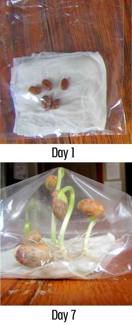 Growing a bean stalk- just use a zip-lock bag, beans and a wet paper towel.  Place next to a window and watch it grow!