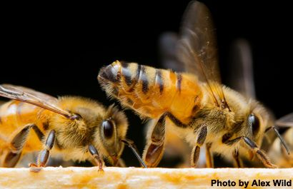 In a study published in Nature Genetics, researchers from Uppsala University present the first global analysis of genome variation in honey bees. The findings show a surprisingly high level of gene...