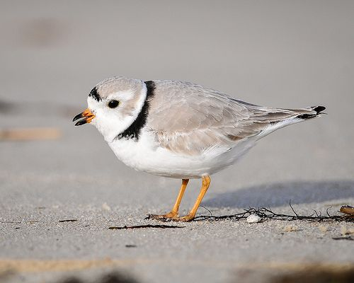 Piping Plover by U. S. Fish and Wildlife Service - Northeast Region, via Flickr
