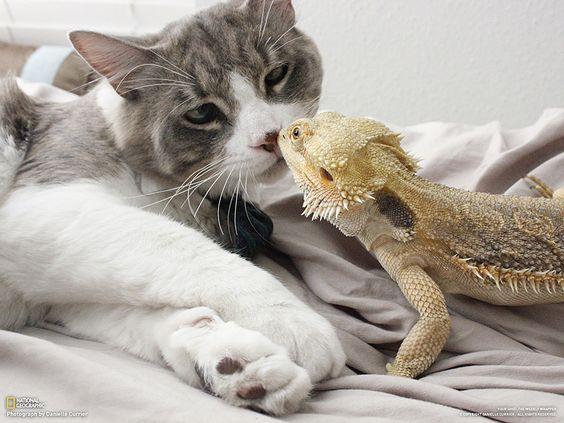 Fotografia di Danielle Currier  Il mio gatto Bro, e la mia pogona Taco, si salutano.