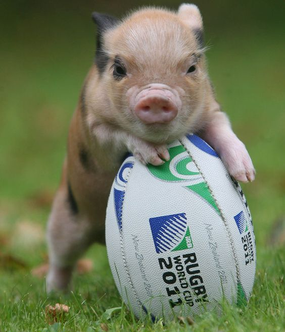 rugby pig... close enough to football pig! too cute. Oh it's... So cute... TT^TT COME HERE AND LET ME LOVE YOU, LITTLE ONE: