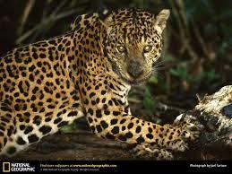 piel de jaguar - Buscar con Google