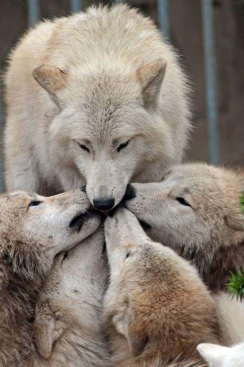 wolf kissing its cub - photo #3
