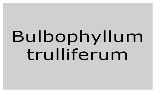 Bulbophyllum trulliferum