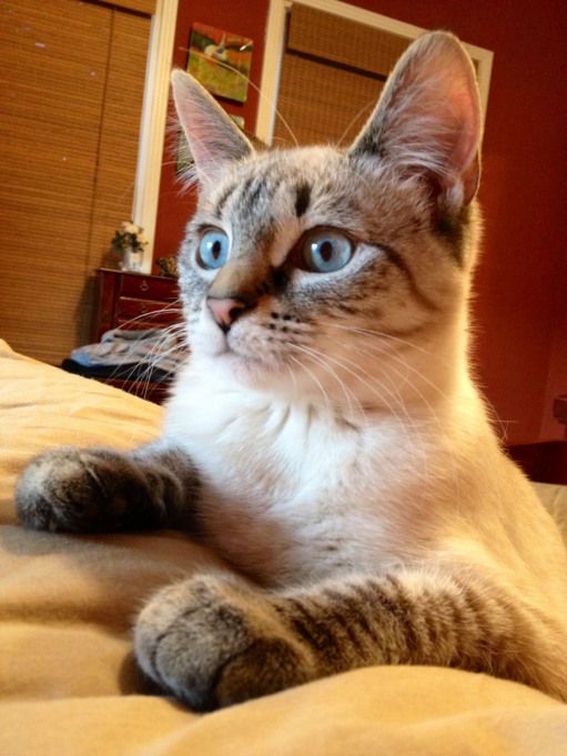 Miss Mimi Lynx Point Siamese Cat This Breed Of Siamese I Had A Male One Years Ago He Was Such A Handsome Sweet Siamese Cats Pretty Cats Cats And Kittens