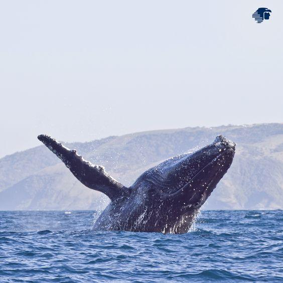 Si quieren vivir una experiencia natural sin precedente, tienen que hacer un Gran Plan de avistamiento de ballenas. Una aventura que pueden hacer realidad en Puerto Vallarta, Los Cabos o La Paz.