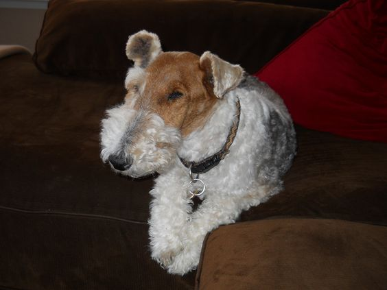 Tired Dog - This is a picture of my dog, a wired hair fox terrier.
