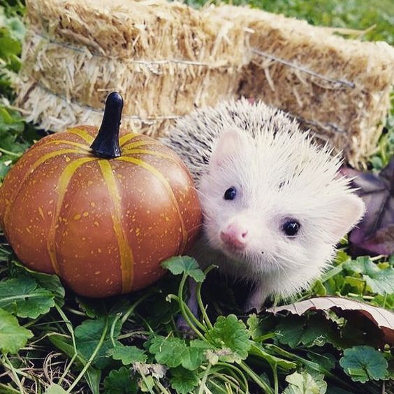 Fall photoshoot for Violet! Insta: @violet_thehedgehog: