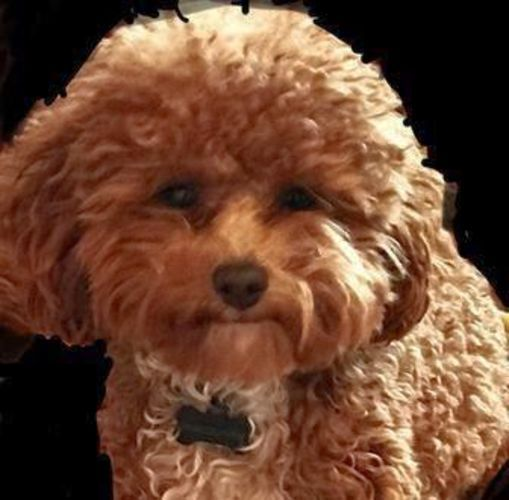 Red Hot Macgyver Toy Poodle Stud Poodle Goldendoodle Labradoodle